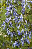 Isodon (Isodon longitubus) en fleurs
