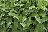 Kitchen sage (Salvia officinalis)