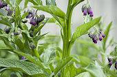 Grande consoude (Symphytum officinale) en fleurs