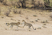 Cheetah (Acinonyx jubatus). Two playful subadult males in the dry and barren Auob riverbed. During a severe drought. Kalahari Desert, Kgalagadi Transfrontier Park, South Africa.