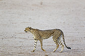 Cheetah (Acinonyx jubatus). Female. Roaming in the dry and barren Auob riverbed during a severe drought. Kalahari Desert, Kgalagadi Transfrontier Park, South Africa.