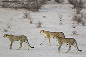 Cheetah (Acinonyx jubatus). Female behind her two subadult male cubs. Roaming in the dry and barren Auob riverbed during a severe drought. Kalahari Desert, Kgalagadi Transfrontier Park, South Africa.