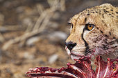 Cheetah (Acinonyx jubatus). Female. Feeding on a springbok (Antidorcas marsupialis). Kalahari Desert, Kgalagadi Transfrontier Park, South Africa.