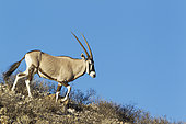 Gemsbok (Oryx gazella). Male. Walking down a rocky ridge. Kalahari Desert, Kgalagadi Transfrontier Park, South Africa.