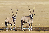 Gemsbok (Oryx gazella). Two males at a waterhole. Kalahari Desert, Kgalagadi Transfrontier Park, South Africa.