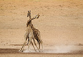 Southern Giraffe (Giraffa giraffa). Fighting males in the dry and barren Auob riverbed, raising a lot of dust. Kalahari Desert, Kgalagadi Transfrontier Park, South Africa.