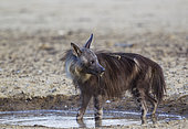 Brown Hyaena (Hyaena brunnea). At a waterhole. Kalahari Desert, Kgalagadi Transfrontier Park, South Africa.