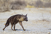 Brown Hyaena (Hyaena brunnea). Walking towards a waterhole. Kalahari Desert, Kgalagadi Transfrontier Park, South Africa.