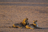 Lion (Panthera leo). Black-maned Kalahari male and female. Mating pair. Resting in the first light of the day. Kalahari Desert, Kgalagadi Transfrontier Park, South Africa.