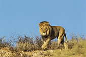 Lion (Panthera leo). Black-maned Kalahari male. Walking on a rocky ridge. Kalahari Desert, Kgalagadi Transfrontier Park, South Africa.
