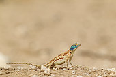 Ground Agama (Agama aculeata). Female. Kalahari Desert, Kgalagadi Transfrontier Park, South Africa.