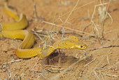 Cape Cobra (Naja nivea). Hunting and spreading its broad hood. Kalahari Desert, Kgalagadi Transfrontier Park, South Africa.