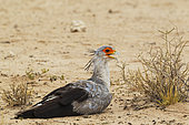 Secretary Bird (Sagittarius serpentarius). Resting at a very hot summer day. Kalahari Desert, Kgalagadi Transfrontier Park, South Africa.