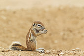 Cape Ground Squirrel (Xerus inauris). Young. Feeding at its burrow. Kalahari Desert, Kgalagadi Transfrontier Park, South Africa.