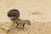 Cape Ground Squirrel (Xerus inauris). Young at its burrow. Kalahari Desert, Kgalagadi Transfrontier Park, South Africa.