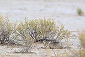 African Wild Cat (Felis silvestris lybica). At dawn. Kalahari Desert, Kgalagadi Transfrontier Park, South Africa.