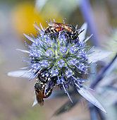 Plasterer Bee (Hylaeus variegatus) on Plains eryngo (Eryngium planum), Regional Natural Park of Northern Vosges, France