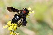 Andrène (Andrena fuscosa) femelle sur moutarde (Sinapis arvensis), Crète, Grèce