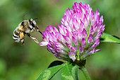 Anthophora bee (Anthophora aestivalis) female on clover, Mont Ventoux, Provence, France