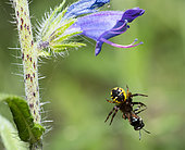 Crab spider (Synaema globosum) having captured a Small carpenter bee (Ceratina chalybea), Mont Ventoux, Provence, France