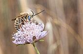 Cuckoo Bee (Tetraloniella strigata) male on Small Scabious (Scabiosa columbaria), Mont Ventoux, Provence, France