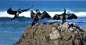 Great Cormorants (Phalacrocorax carbo) on rock, Audierne Bay, Brittany, France