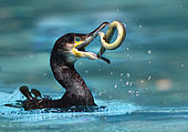 Great Cormorant (Phalacrocorax carbo) fishing for an eel (Anguilla anguilla), Alsace, France