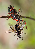 Red Assassin Bug (Rhynocoris iracundus) eating a flying ant, Mont Ventoux, Provence, France