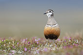 A adult female Eurasian dotterel (Charadrius morinellus) in breeding habitat on the tundra. This image was taken in June in the Swedish mountains.