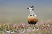 Pluvier guignard (Charadrius morinellus) femelle dans son habitat de reproduction dans la toundra, montagnes suédoises.