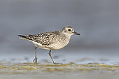 A 1cy Grey Plover (Pluvialis squatarola) feeding along a shoreline on the coast of Öland, Sweden. This bird was on its' way south during the autumn migration.