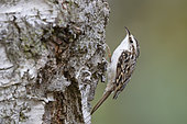 Climbing up tree trunks this Common Treecreeper (Certhia familiaris) finds small insects in the crevasses along the bark. This is a adult bird taken in October in southern Sweden.
