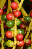 California fan palm (Washingtonia filifera) fruits
