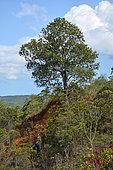 Arillastrum (Arillastrum gummiferum), Prony, New Caledonia