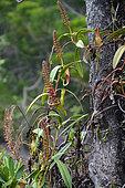 Nepenthes Pitcher Plant (Nepenthes vieillardii), Prony, New Caledonia
