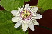 Stinking passionflower (Passiflora foetida), Néa, Nouvelle Calédonie