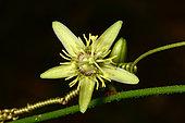 Corkystem passionflower (Passiflora suberosa), Plum, New Caledonia