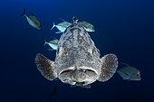 Potato grouper (Epinephelus tukula) and black jack fish (Caranx lugubris). Beautiful specimen of potato grouper in the company of a school of black trevallies at 80 meters depth. Mayotte