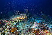 Mesophotic settlement. A reef or rather healthy mesophotic stand is an explosion of life and color well sheltered in the shadow of the twilight zone. Mayotte