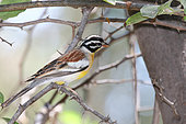 Golden-breasted bunting (Emberiza flaviventris) adult male in a spiny bush, Botswana