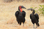 Southern Ground-Hornbill (Bucorvus leadbeateri) adult male and young begging in the dry grass in search of food, Botswana