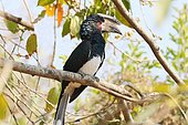 Trumpeter Hornbill (Bycanistes bucinator) adult male on a branch observing his territory, Botswana