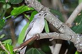 White-breasted cuckooshrike (Ceblepyris pectoralis) female on the lookout on a branch, Botswana