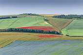 Field of flax and poppies on limestone land, summer, Pas de Calais, France