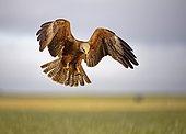 Black kite (Milvus migrans) in landing approach, Castilla-La Mancha, Spain, Europe