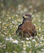 Black kite (Milvus migrans) in a flowering meadow, Castilla-La Mancha, Spain, Europe