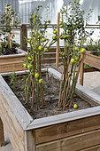 Tomatoes grown in a wooden bin, summer, Pas de Calais, France