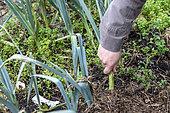 Jardinier arrachant un poireau de son potager biologique, automne, Pas de Calais, France