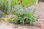 Bourrache (Borago officinalis) dans un jardin potager, printemps, Moselle, France