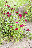 Sweet Williams' (Dianthus barbatus) 'Oeschberg' in bloom